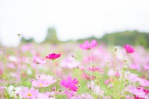 コスモスの花の名前の意味とは?