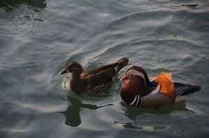 mandarin-duck-416290_640-300x199