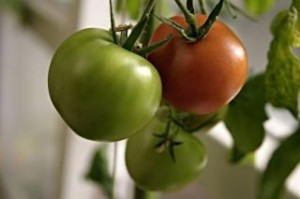 tomatoes-many-red_19-97623-300x199