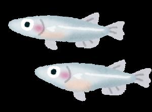 fish_medaka-300x222